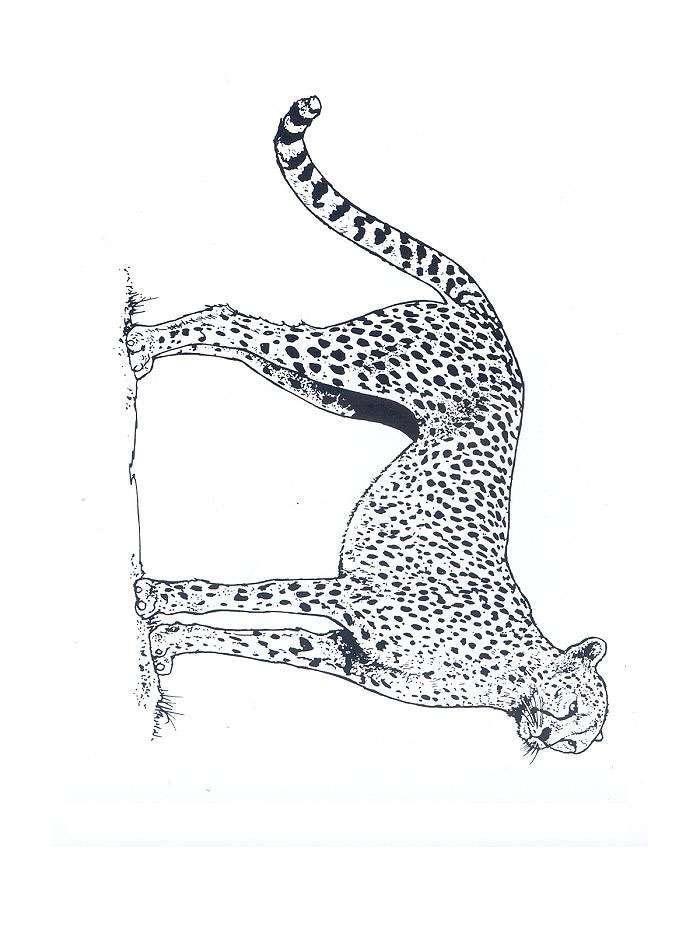 Planse De Colorat Cu Animale Tigri Desene De Colorat Cu