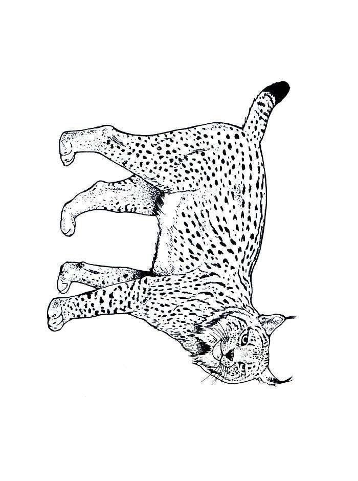 Planse De Colorat Animale Tigri De Colorat P21 Desene De
