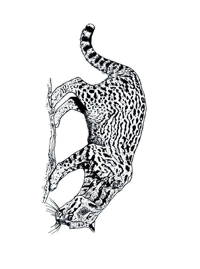 Planse de colorat Animale tigri