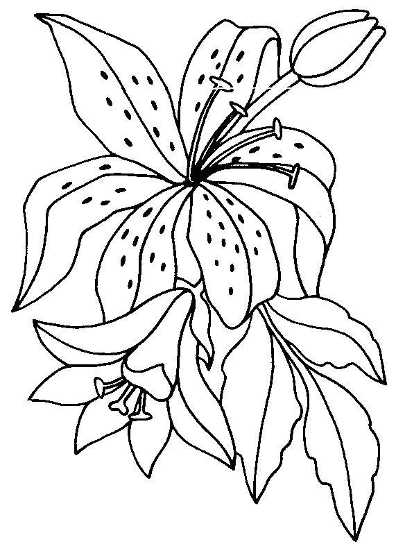 Planse De Colorat Cu Flori Crini Desene De Colorat Cu