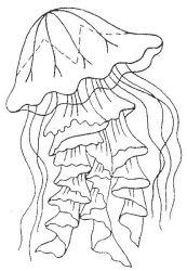plansa de colorat animale meduze #17