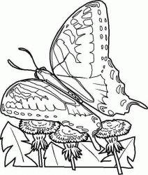 plansa de colorat animale fluturasi de colorat p15