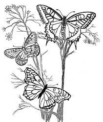 plansa de colorat animale fluturasi de colorat p62