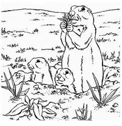 plansa de colorat animale marmota de colorat p05