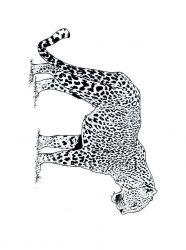 plansa de colorat animale tigri de colorat p03