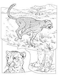 plansa de colorat animale tigri de colorat p17