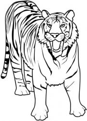 plansa de colorat animale tigri de colorat p30