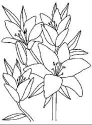 plansa de colorat flori crini de colorat p06