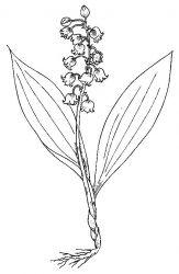 plansa de colorat flori lacramioare de colorat p16