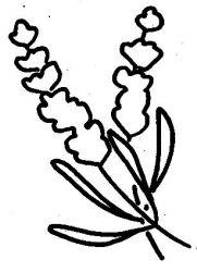 plansa de colorat flori lavanda de colorat p03