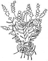 plansa de colorat flori lavanda de colorat p05