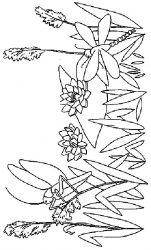 plansa de colorat flori nuferi de colorat p20