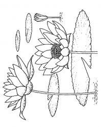 plansa de colorat flori nuferi de colorat p23