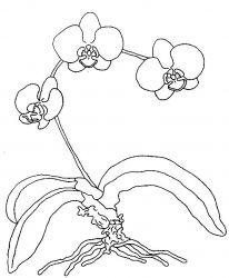 plansa de colorat flori orhidee de colorat p05