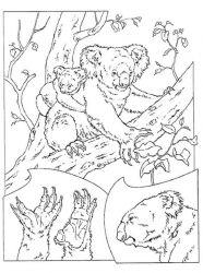 plansa de colorat koala de colorat p11